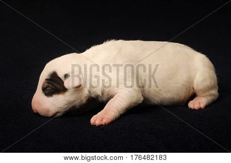 Miniature Bull Terrier Puppy, ten days old, lying over black background