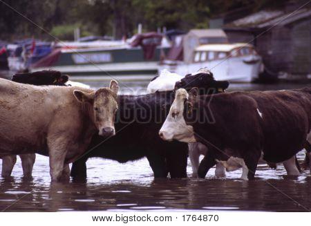 River Cows