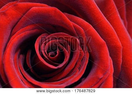 Red Rose, Macro, Foliage And Floral Background