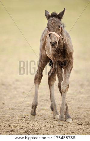 Small Kladruber Foal Standing On Countryside Grassland
