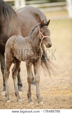 Brown Foal Standing Next To Filly In Corral