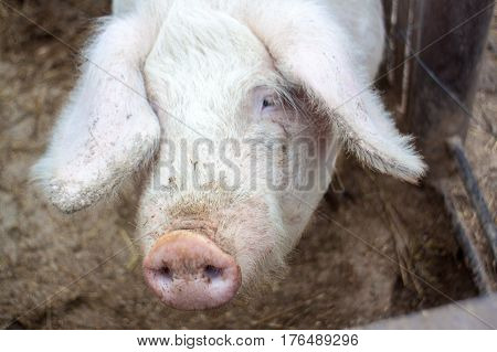 Head Close-up On A Pig Farm