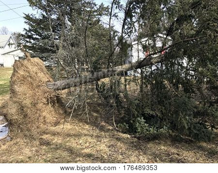 Fallen tree with roots pulled from the ground after a strong wind storm