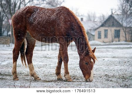 A horse grazing in a snow-covered glade in winter under snow flakes
