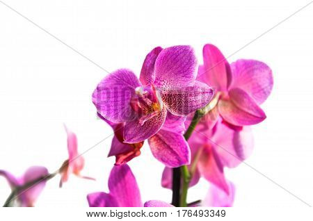 Pink flowers Orchid (Phalaenopsis) on a white background