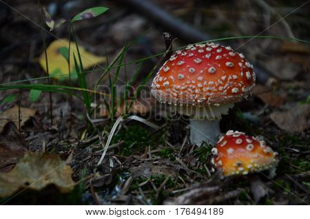 poisonous mushrooms. Two mushroom growing near. the fly agaric
