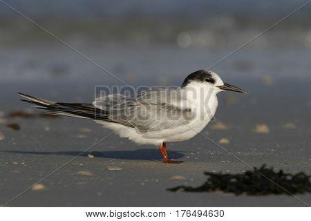 Common Tern, sterna hirundo on a beach near the shoreline in Florida