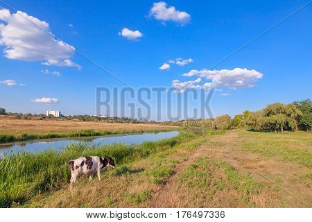 yang calf grazing grass on the river shore