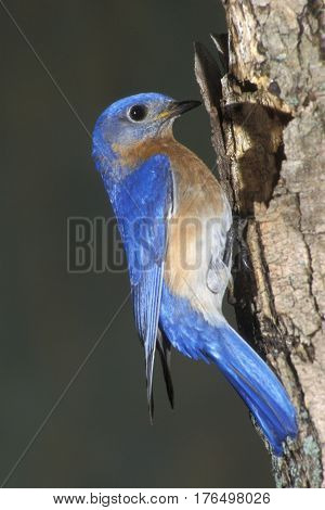 A male Eastern Bluebird, Sialia sialis on a tree trunk at its nest cavity