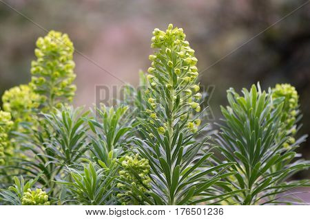 Mediterranean spurge (Euphorbia characias wulfenii) in flower. Erect sub-shrub with oblong grey-green leaves and large rounded heads of greenish-yellow flowers