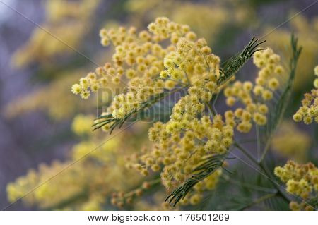 Silver wattle (Acacia dealbata) yellow flowers and foliage. Australian evergreen tree aka blue wattle or mimosa with bipinnate silvery grey leaves and large racemose inflorescences poster