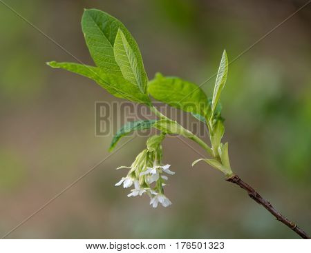 Oso berry aka Indian plum (Oemleria cerasiformis) flowering. Raceme of white flowers and new foliage of spring blossoming deciduous shrub in the family Rosaceae