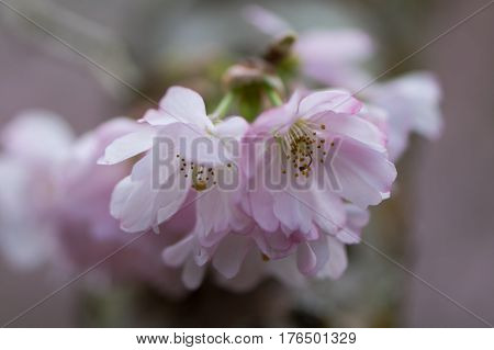 Pink flowering cherry, Prunus Accolade. Pink semi-double flowers of ornamental early spring blossoming hybrid tree