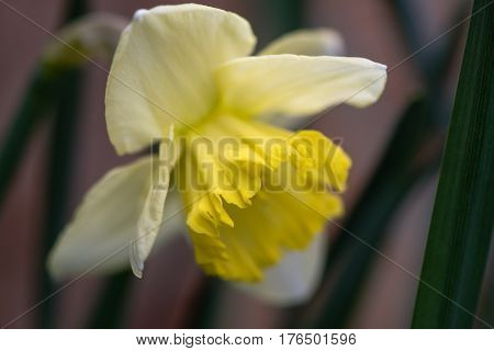 Daffodil Narcissus Saint Patrick's Day flower. Large-cupped yellow and white flower of spring perennial plant in the Amaryllidaceae (amaryllis) family in Bath Botanical Gardens UK