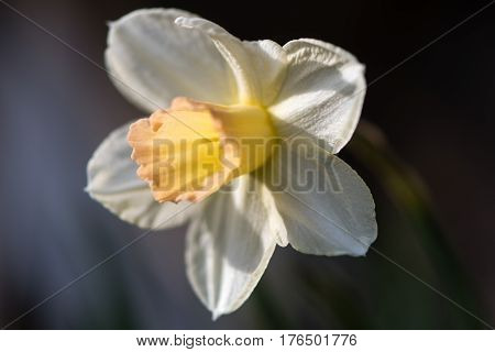 Daffodil Narcissus Waterperry flower. Dainty yellow and ivory white flower of spring perennial plant in the Amaryllidaceae (amaryllis) family in Bath Botanical Gardens UK