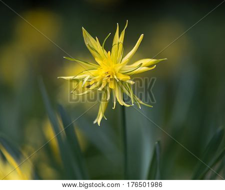 Daffodil Narcissus Rip van winkle flowering. Yellow flower of spring perennial plant in the Amaryllidaceae (amaryllis) family in Bath Botanical Gardens UK