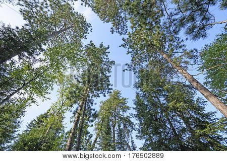 Looking up into the North Woods in Quetico Provincial Park in Ontario