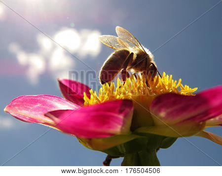 Bee silhouette close-up macro on a pink dahlia flower against a blue sky