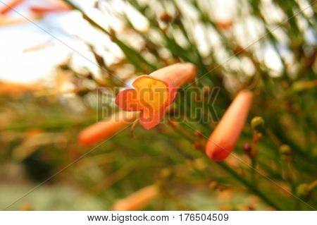 Native Australian bell-shaped orange Corea wild flower native shrub plant