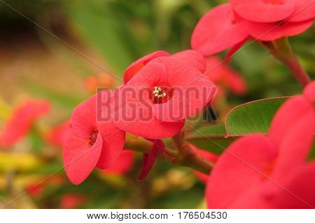 Euphorbia milii (Crown of Thorns, Christ plant, Christ Thorn) Red Flower succulent shrub growing in garden