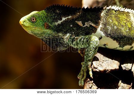 Fijian crested iguana (Brachylophus vitiensis) on Viti Levu Island Fiji. It is critically endangered species of iguana found on some Fijian islands.