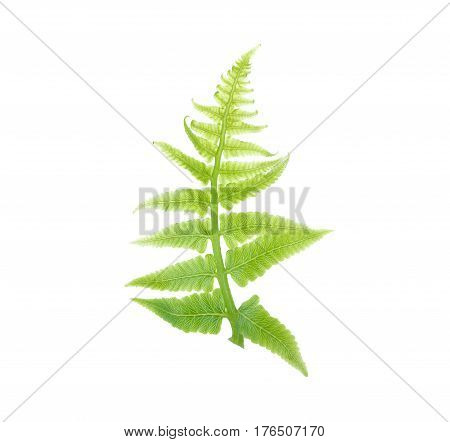 fresh vegetable fern leaf or paco fern leaf on white background