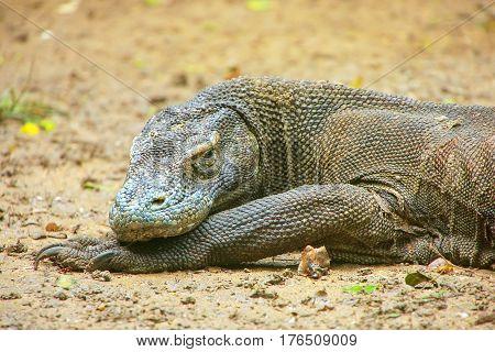 Portrait Of Komodo Dragon Resting On Rinca Island In Komodo National Park, Nusa Tenggara, Indonesia