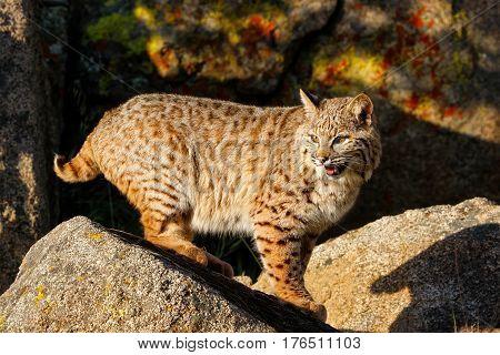 Bobcat Standing On A Rock