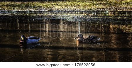 Ducks swim in the spring pond beauty of Ukrainian nature and its feathered dwellers