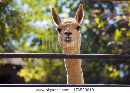 Smiling lama on the bright colorful background