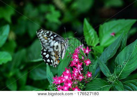 A butterfly feeding on ixora in sunshine