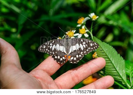 Butterfly feeding on my hand in a summer garde