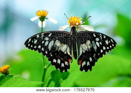 A graphium agamemnon butterfly in a garden