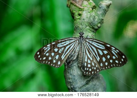Graphium agamemnon butterfly feeding on green leaf in a garden