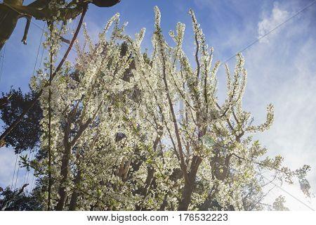 Beautiful White Cherry Flower Blossom At Descanso Garden