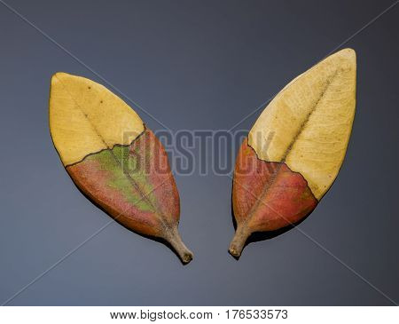 Special close up shot of half-half colored leaves
