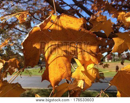 Colorful fall leaves in a suburban neighborhood setting