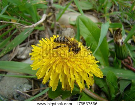 The bee sits on a flower and collects nectar