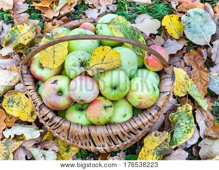 Apples in wicker basket collected from the ground in the autumn garden