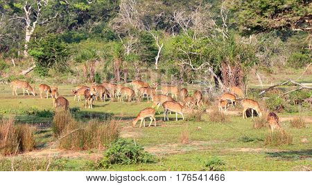 Herd of Sri Lankan axis deer Axis axis ceylonensis also called Ceylon spotted deer national park Wilpattu Sri Lanka