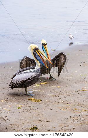 Pelican on Ballestas Islands Peru South America in Paracas National park. Flora and fauna