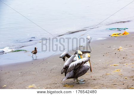 Pelican on Ballestas Islands Peru South America in Paracas National park. Flora and fauna