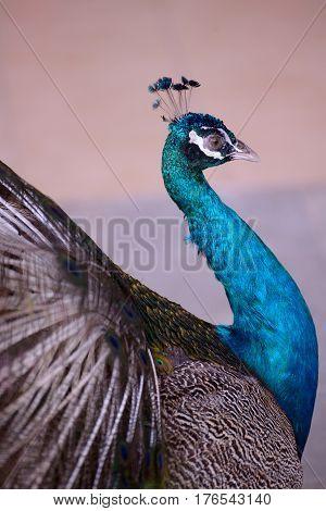 Indian Blue Peafowl shot in profile closeup