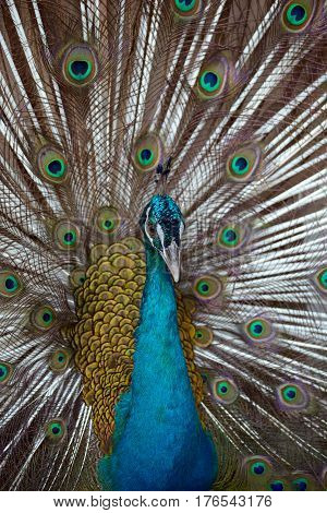 Indian Blue Peafowl with open tail closeup