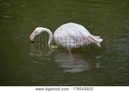 Greater flamingo standing in water and drinking