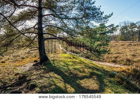Backlit image of a scots pine tree in a nature reserve with a narrow meandering sand path.