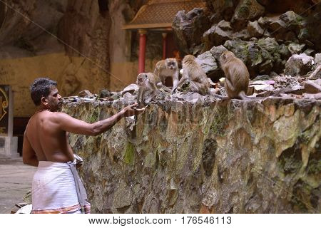 Kuala Lumpur Malaysia - November 3 2014: Servant of the temple in Batu Caves feeds monkeys. Batu Caves - a complex of cave hills and Hindu shrines at a distance of 13 km from the center of Kuala Lumpur.