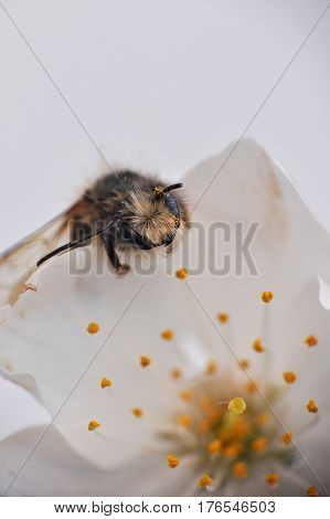 Honey bee (Apis) feeding on white wild flower and collecting nectar
