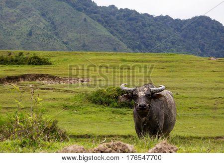 Buffalo at Samosir island, North Sumatra, Indonesia