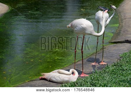 Three greater flamingo on the bank of a pond